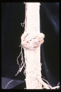 Figure 15: Galls on crown of young tree