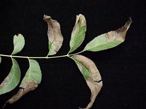 Figure 4: Pecan bacterial leaf scorch