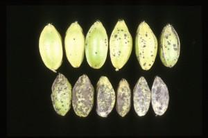Figure 3: Range of nut scab severity