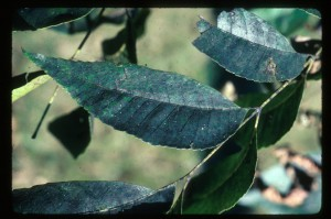 Figure 14: Sooty mold on leaf surface